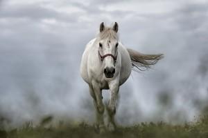 white-horse-1136093_960_720