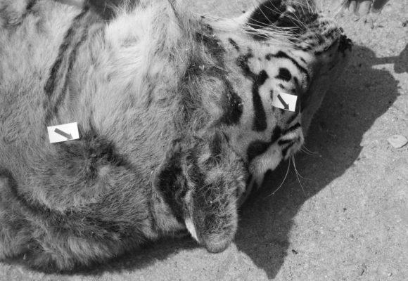 Obchod s divokými zvířaty konkuruje prodeji drog