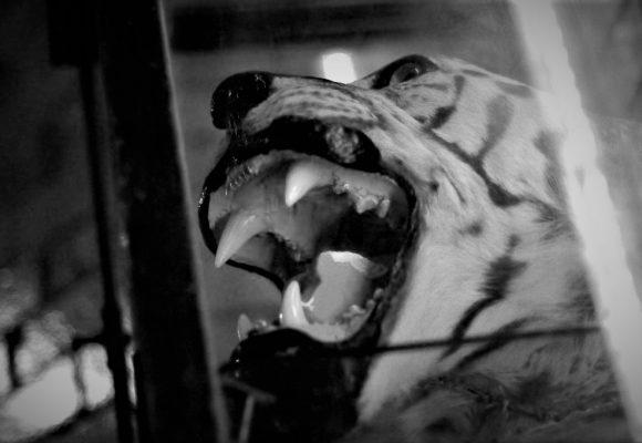 Mrtvý tygr, dobrý tygr: zpráva o obchodu s divočinou