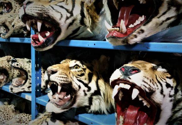Tygří farmy: Množírna, drezura, jatka